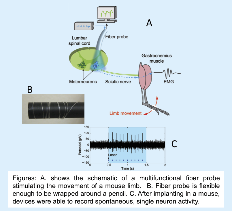 Multifunctional, flexible probes stimulate movement, record neuron activity