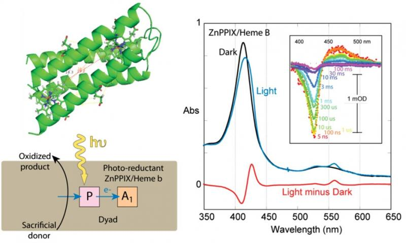 Maquette cofactor dyads support light-induced charge separation stable for milliseconds. Maquette framework with two porphyrins along with electron transfer schemes. Right: Light induced difference spectra in a ZnPPIX/Heme B containg maquette dyads using 2 nsec laser pulses and continuous illumination.
